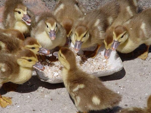 Как и какво да храним патици у дома?