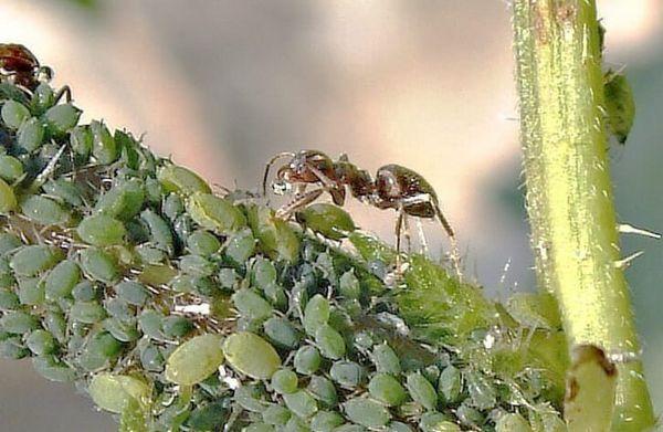 Cum să scapi de afide și furnici remedii populare
