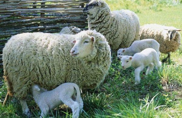 Какво е името на бебешката овца