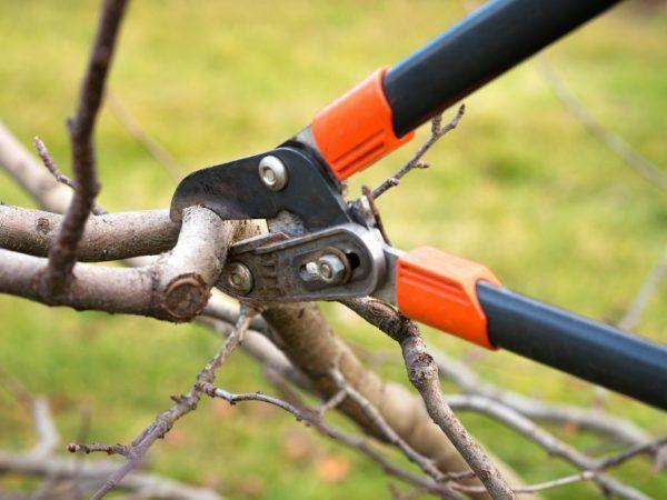Как да подрязвате ябълково дърво през есента - съвети на градинарите