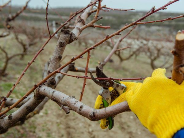 Tăierea anti-îmbătrânire va crește productivitatea pomilor