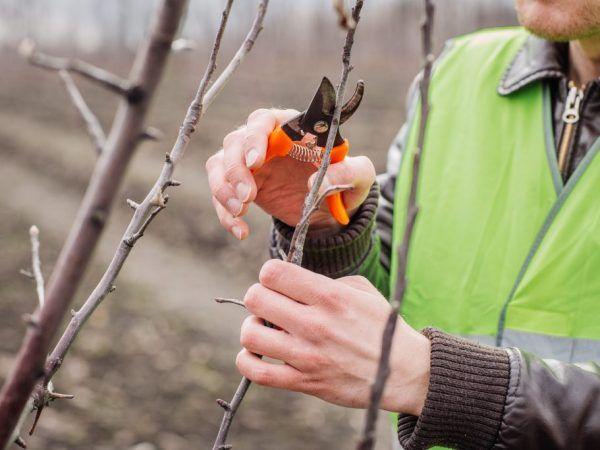 Tăierea crește productivitatea pomilor