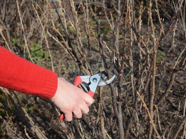 Подмладяването на храста ще увеличи неговата производителност
