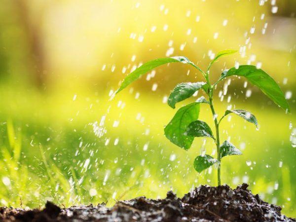 Как да храним разсад от пипер с водороден прекис