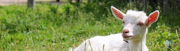 Как да доеме коза: основни правила, инструкции за начинаещи