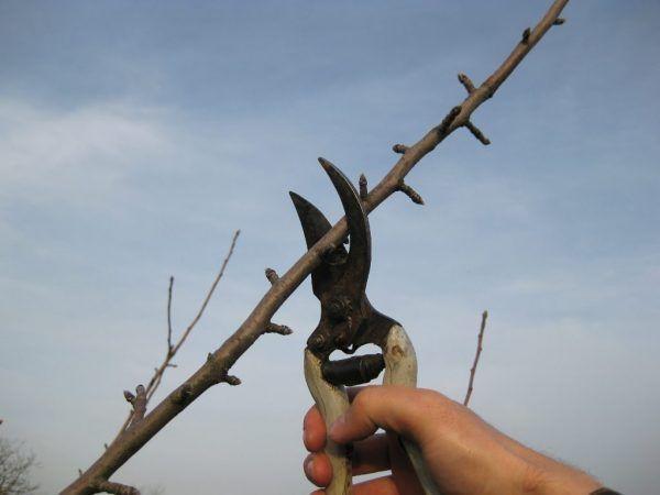 Как правилно да оформите короната на ябълково дърво