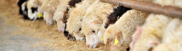 Как да се хранят овце: през зимата се развъждат овце, след агнене, млади животни, норми за хранене