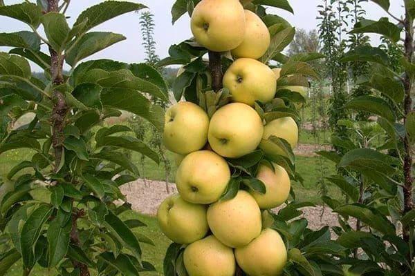 колоновидна яблуня в саду