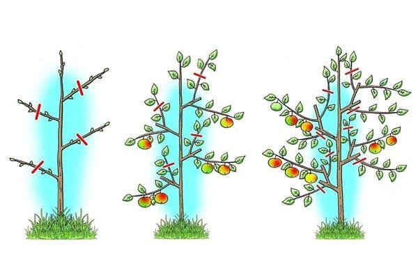 схема обрізки колоновидною яблуні