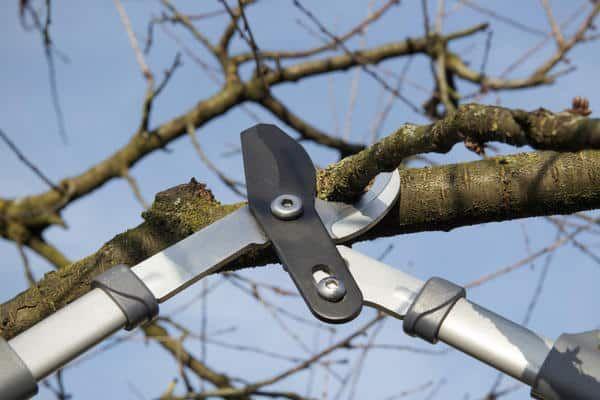 обрізка яблуні ножицями