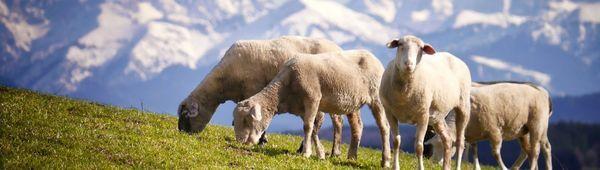 Как да пасат овце: време, стандарти и техника