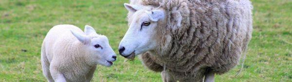 Как правилно да развъждате овце: пубертет и цикъл при овце, чифтосване, как да разберете кога овца ловува