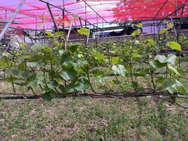 Формувати кущі необхідно для вирощування гарного врожаю