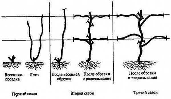 Схема обрізки винограду за методом Гюйо