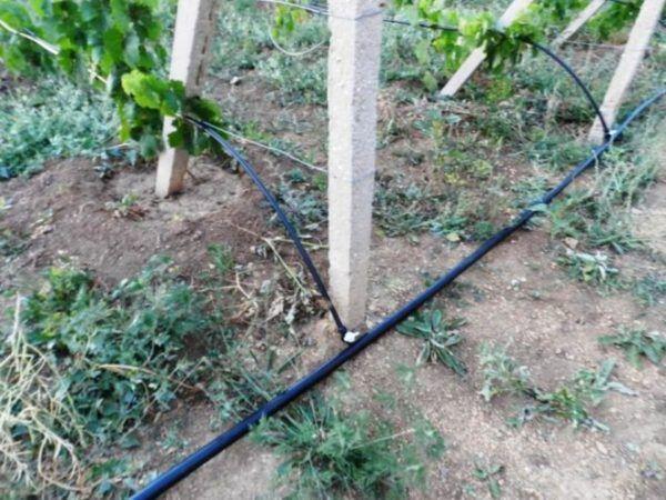 Обприскування і поливи потрібні винограду на всіх етапах росту
