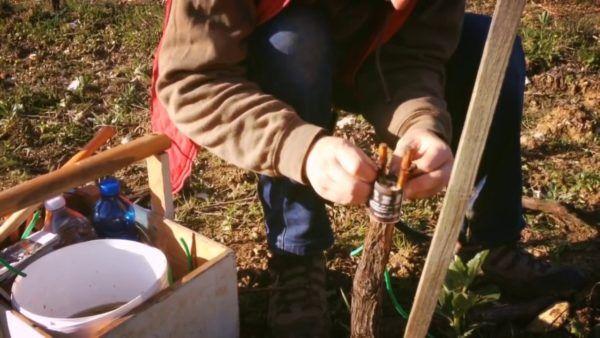Щеплення винограду в розщепів