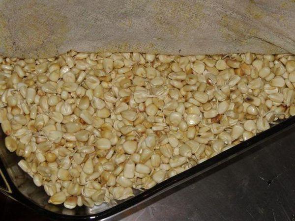 Как да покълнем царевица