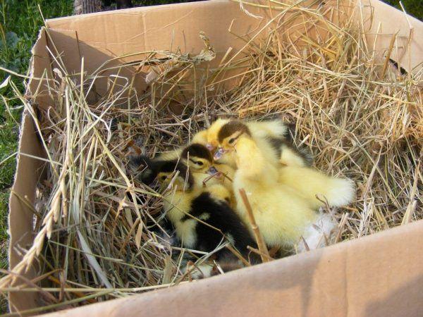 Как да си направим патешко гнездо