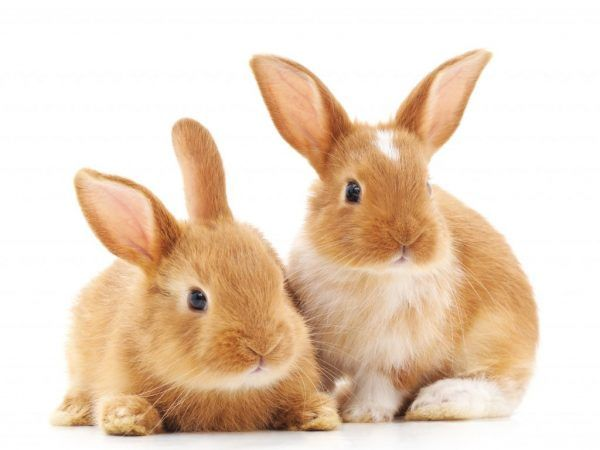Как да се грижим за зайци