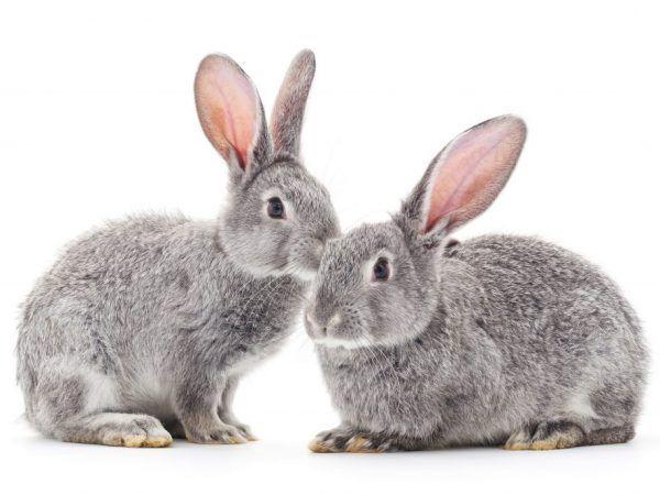 Как да се грижим за зайци у дома