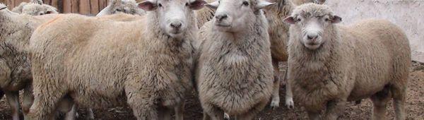 Как да отглеждаме овен за месо: колко време е необходимо, технология на хранене