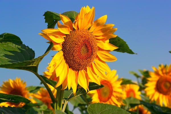 Как да отглеждаме слънчоглед