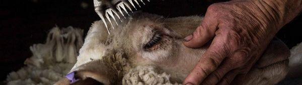 Как да изострим ножовете за стригане на овце у дома: прости методи