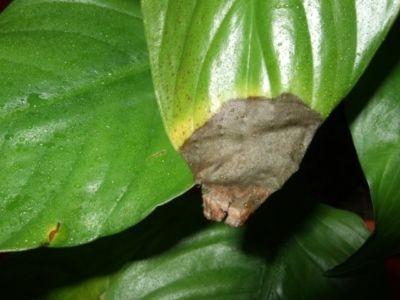 Как да се лекува спатифилум с болести по листата и как изглеждат засегнатите области на растението на снимката?