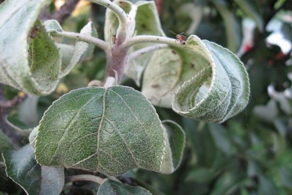 Якими хімічними і народними засобами обприскати яблуню, щоб позбутися від мурах