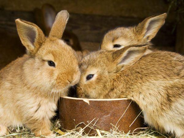 С какви зеленчуци и плодове да се хранят зайци
