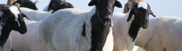 Калмик мазна опашка овца: основни характеристики