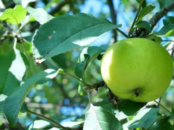 Калорійність яблук - бжу і добова норма