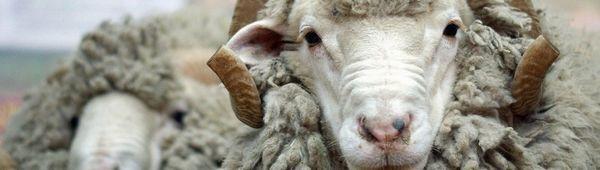 Каракулска порода овце: характеристики, описание