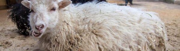 Wessent джудже декоративни овце: разплодни характеристики