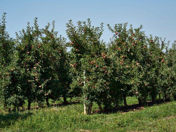 Карликові яблуні для підмосков`я - який сорт вибрати