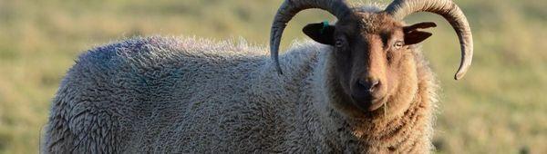 Кастрация на овце: защо е необходимо да се прави, на каква възраст, методи и описание