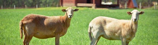 Катумски гладкокосми овце: описание, предимства и недостатъци на породата