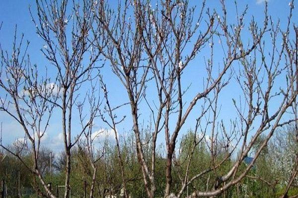 насичені дерева