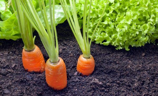 Кога да засадите моркови в сибир