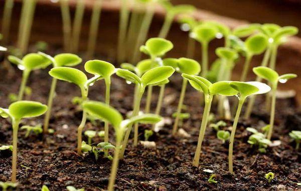 Кога да засадите краставици, домати и чушки в разсад през 2016 г.