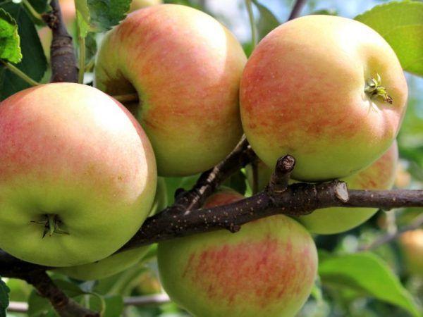 Количеството захар в ябълките - повишават ли нивата на глюкозата?