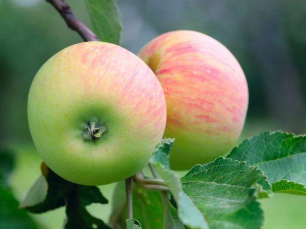 Диабетиците се препоръчват да ядат ябълки след термична обработка