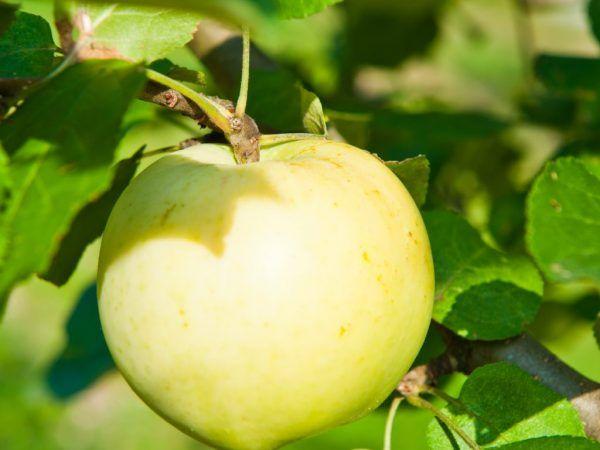 Колоновидни сортове ябълково дърво с мед