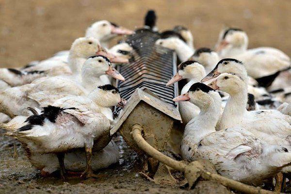 Хранене на патици у дома: правила и препоръки