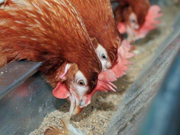 Подаващото устройство за пиле е направено от широка пластмасова тръба с дължина 1 м