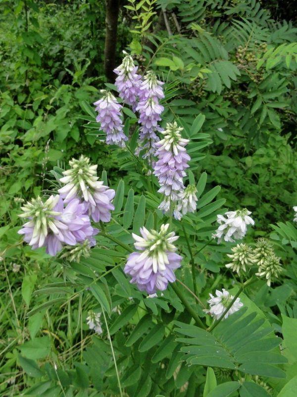 Козе трева: описание, свойства и приложение