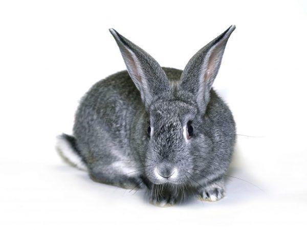 Шиншилски заек