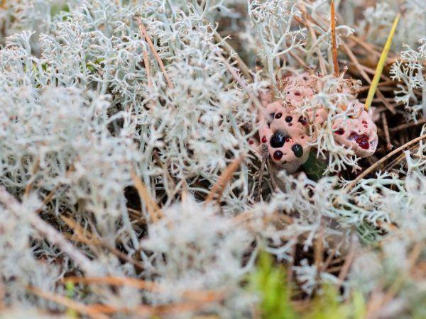 Кривавий зуб: незвичайний представник грибного царства