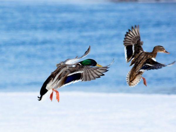 Къде патици летят за зимата