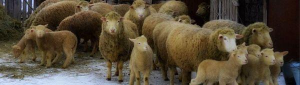 Куйбишевски овце и овце: описание и особености на породата